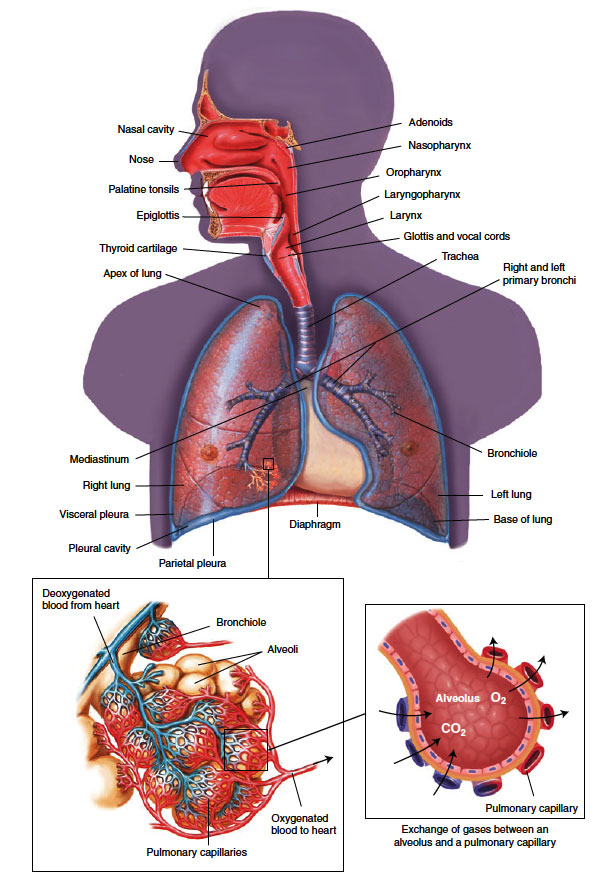 Anatomy and Physiology - respiratory system in Medical Terminology ...
