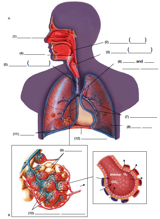 Respiratory System in Medical Terminology(Adaptive*) - Respiratory ...