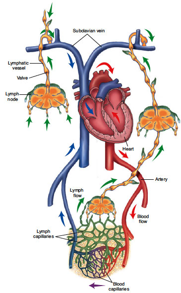 Interrelationship-of cardiovascular system with the lymphatic system