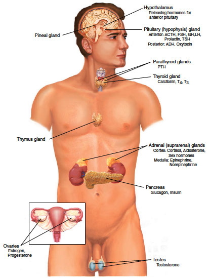 Locations of major endocrine glands.