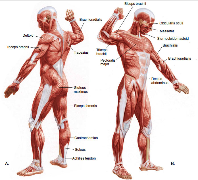 What does musculoskeletal system includes - What does ...