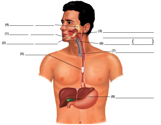 The-upper-GI-tract